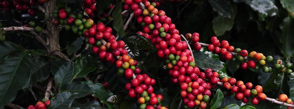 O café foi o principal produto da pauta de exportações do agronegócio mineiro, no período de janeiro a julho (Foto: Alexandre Soares/Emater-MG)